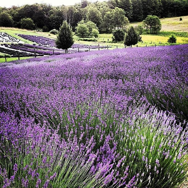 Lavender Photograph - Lavender Farm Landscape by Christy Beckwith