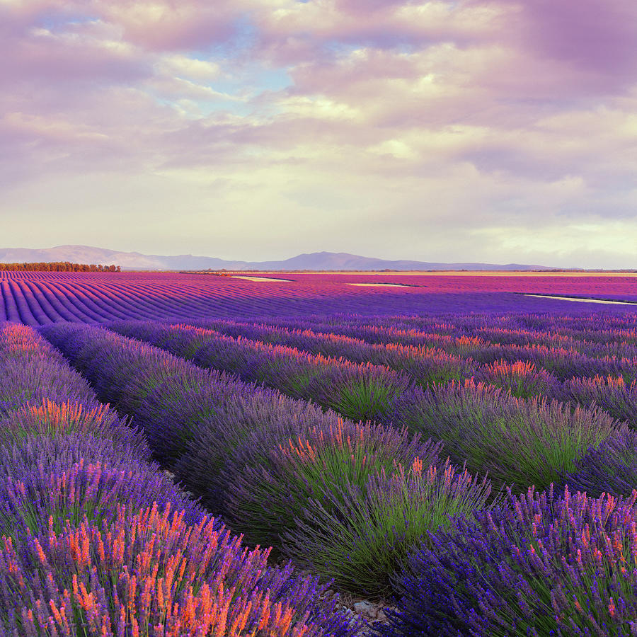 Lavender Field At Dusk Photograph by Mammuth