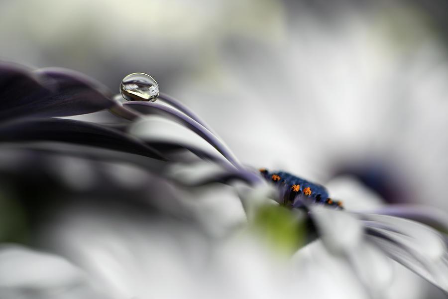 Petals Photograph - Lazy Drop by Heidi Westum