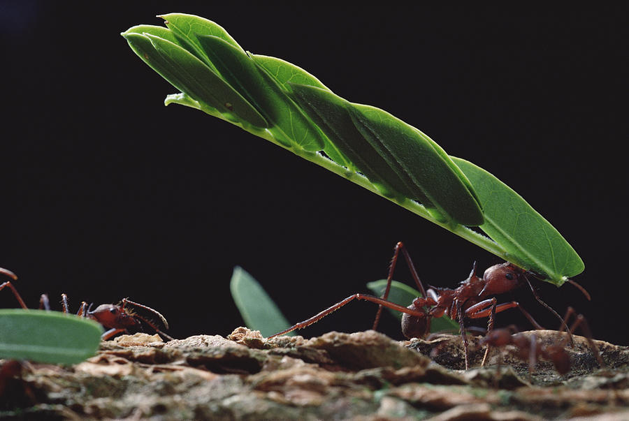 Leafcutter Ants Carrying Leaves Barro Photograph by Mark Moffett
