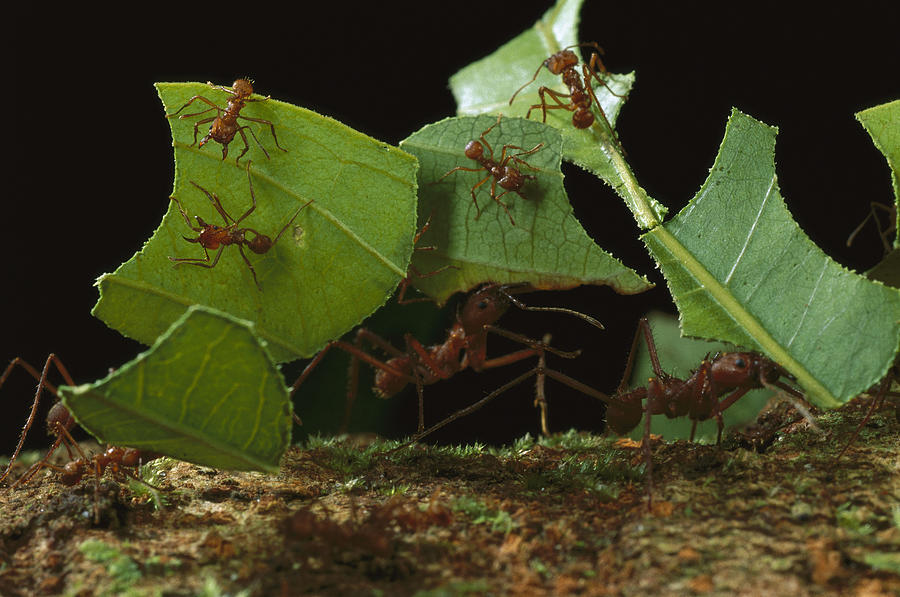 Leafcutter Ants Carrying Leaves French Photograph by Mark Moffett