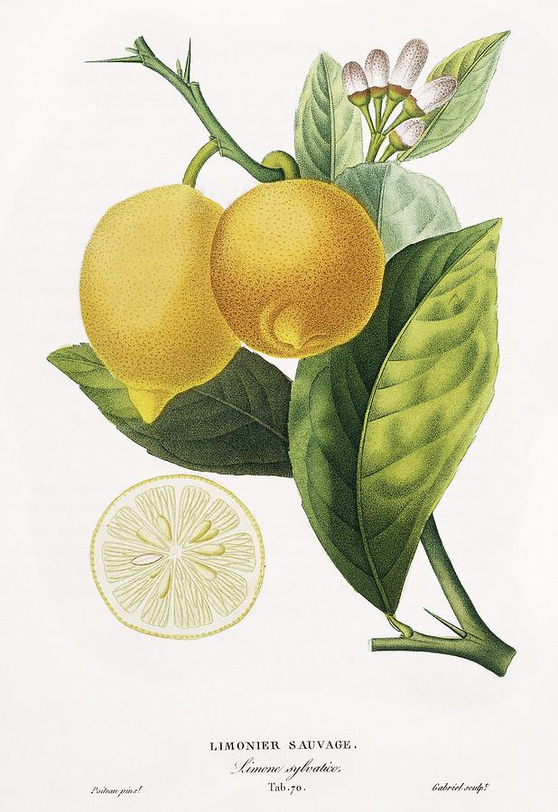 Lemon History Pictures