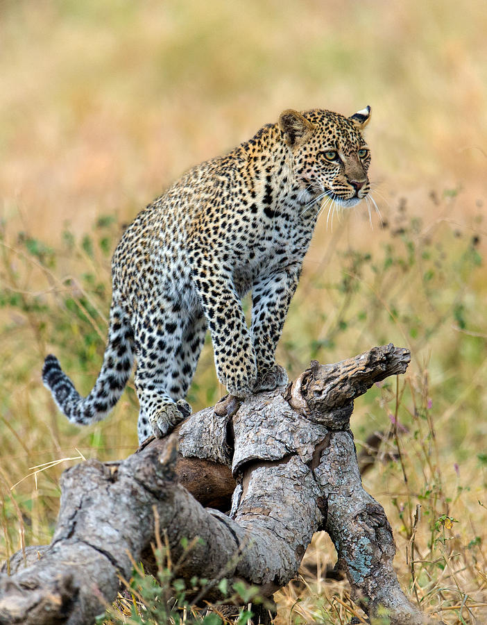 Color Image Photograph - Leopard Panthera Pardus Climbing by Panoramic Images