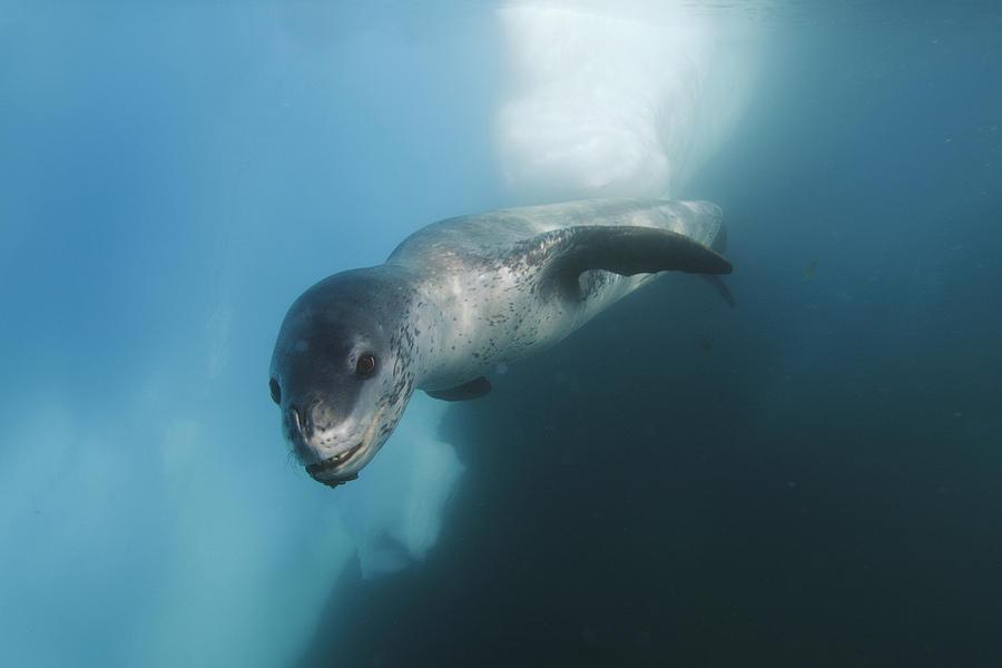 Leopard Seal  Antarctica Photograph by Hiroya  Minakuchi