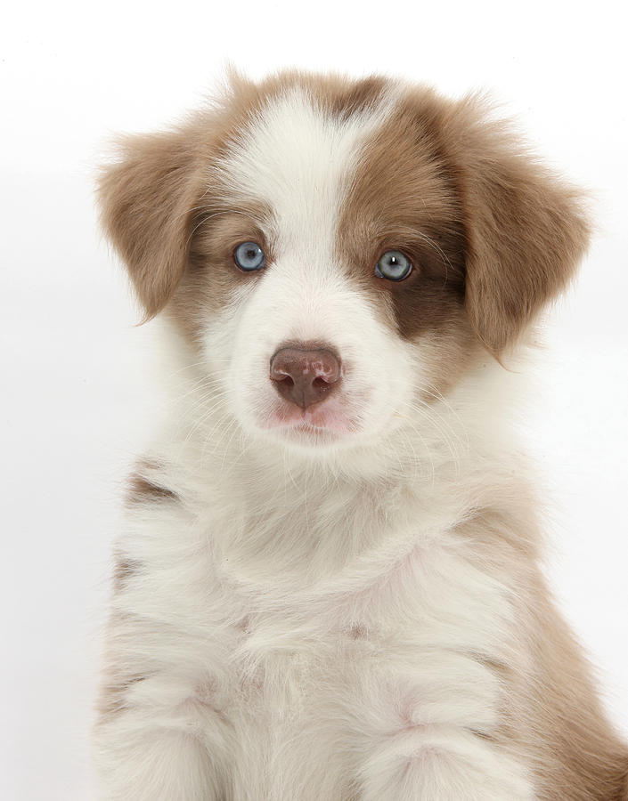 Lilac Border Collie Puppy Photograph By Mark Taylor