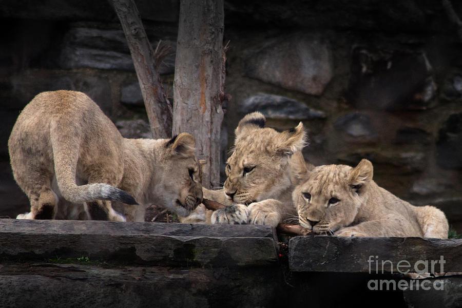 Lion Cubs Photograph
