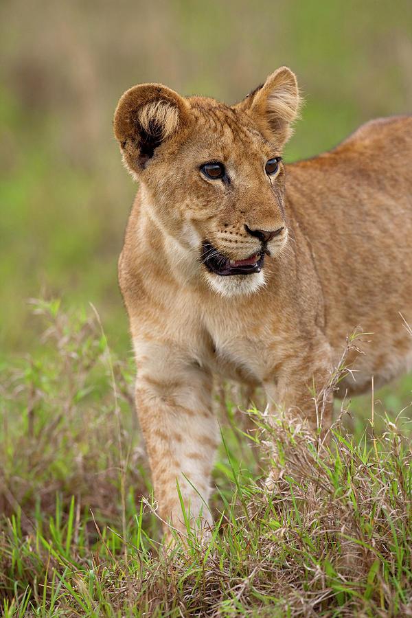 Africa Photograph - Lion (panthera Leo by Martin Zwick