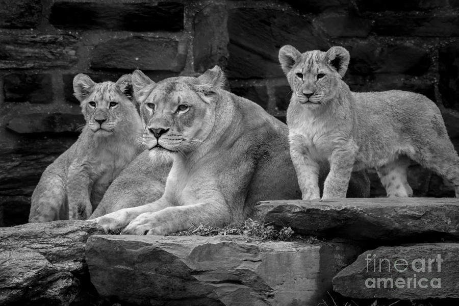 Lion Photograph - Lioness and Cubs by David Rucker