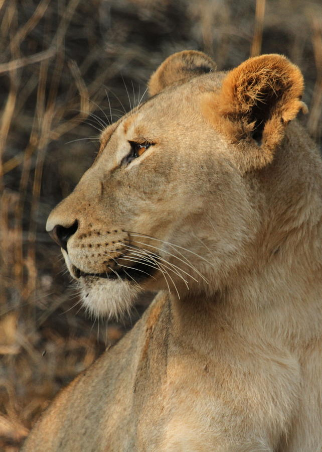 Lioness Face Photograph by Anja Migliavacca - Doorten