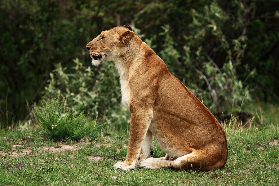 Lion Photograph - Lioness On The Masai Mara  by Aidan Moran