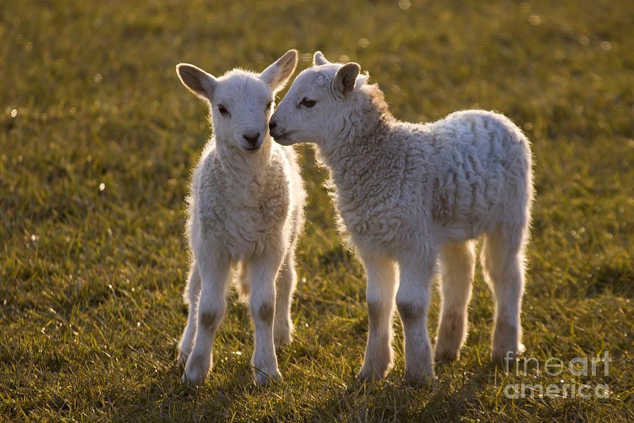 Sheep Photograph - Little Gossips by Angel Ciesniarska