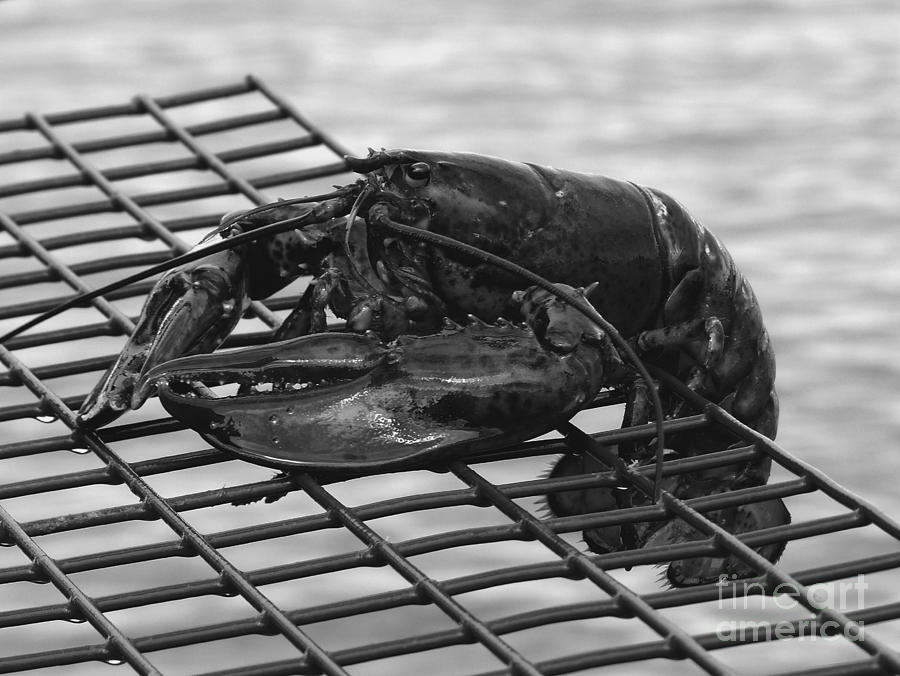 Lobster Photograph - Lobster Bw 1 by Christine Stack