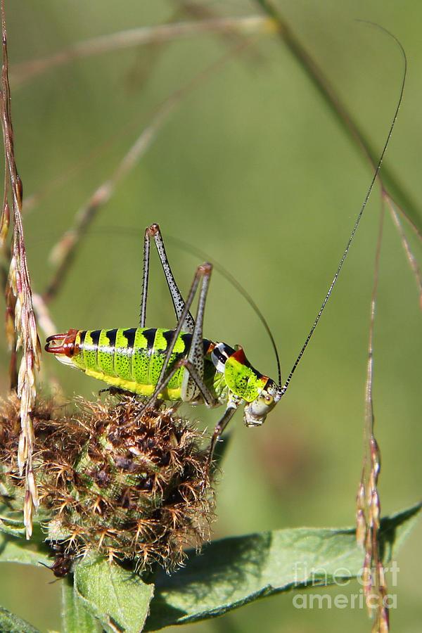 Bush Cricket Photograph - Long-horned Katydid Tettigonid by Jivko Nakev