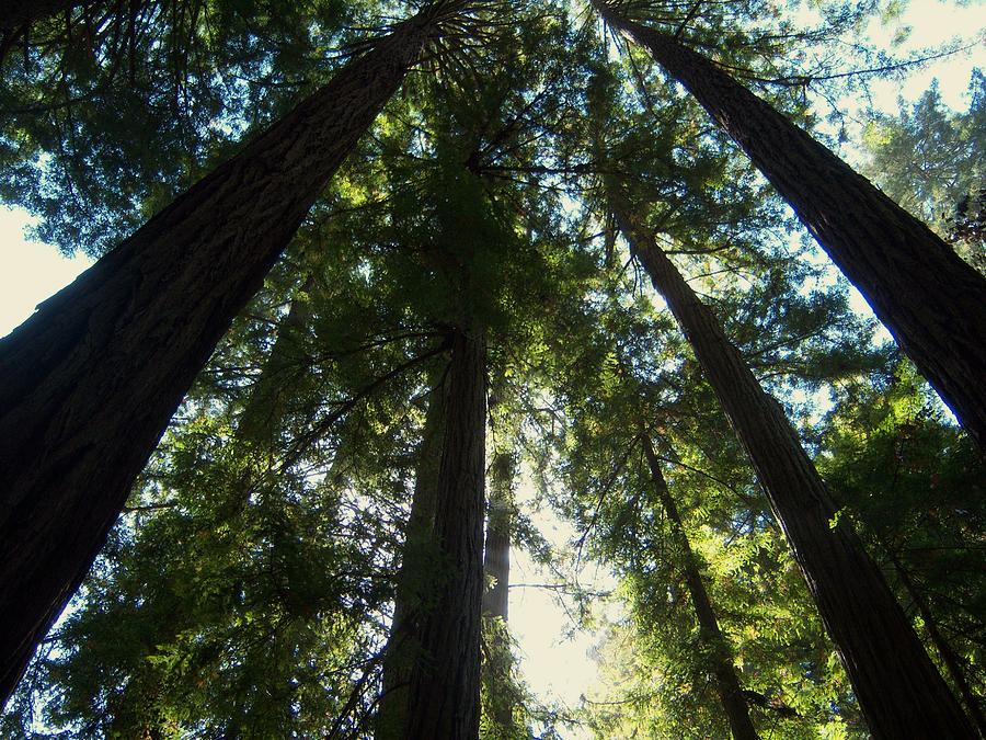Muir Woods National Monument Photograph - Looking Up by Pamela Schreckengost