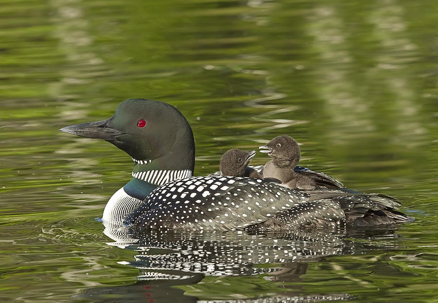 Common Loon Photograph - Loon Parent With Two Chicks by John Vose