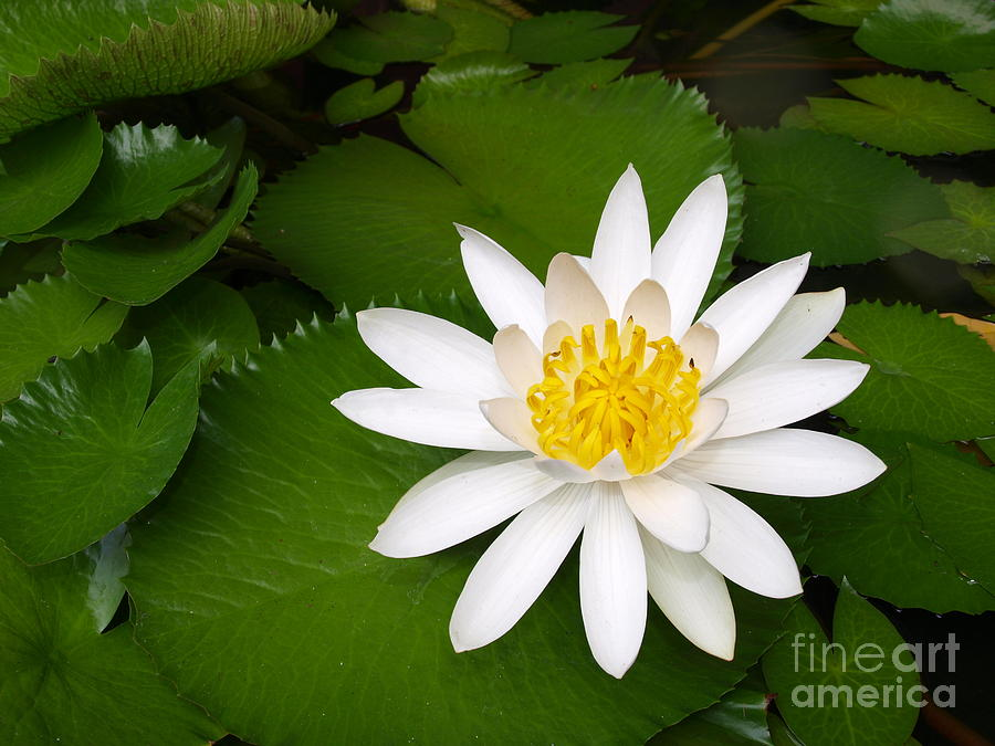 Water Pyrography - Lotus by Alina Satir