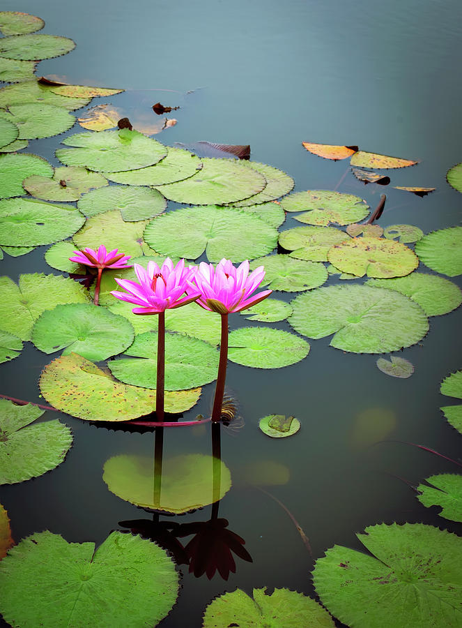 Lotus Flower Photograph by Maxphotography