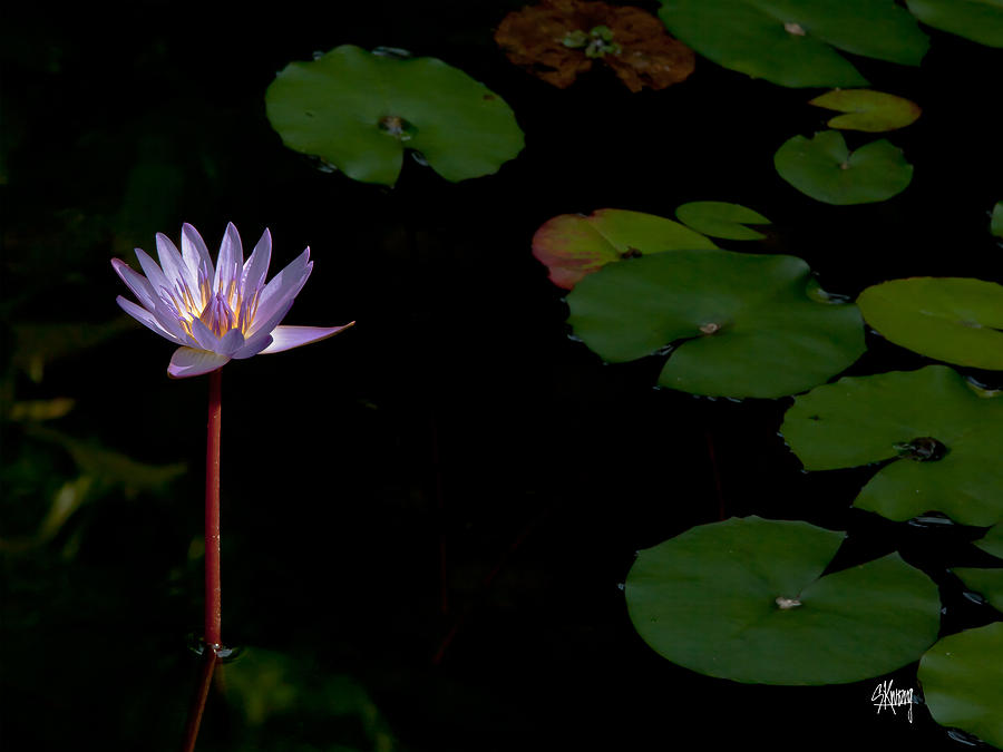 Lotus peace photograph by stan kwong lotus flower photograph lotus peace by stan kwong mightylinksfo