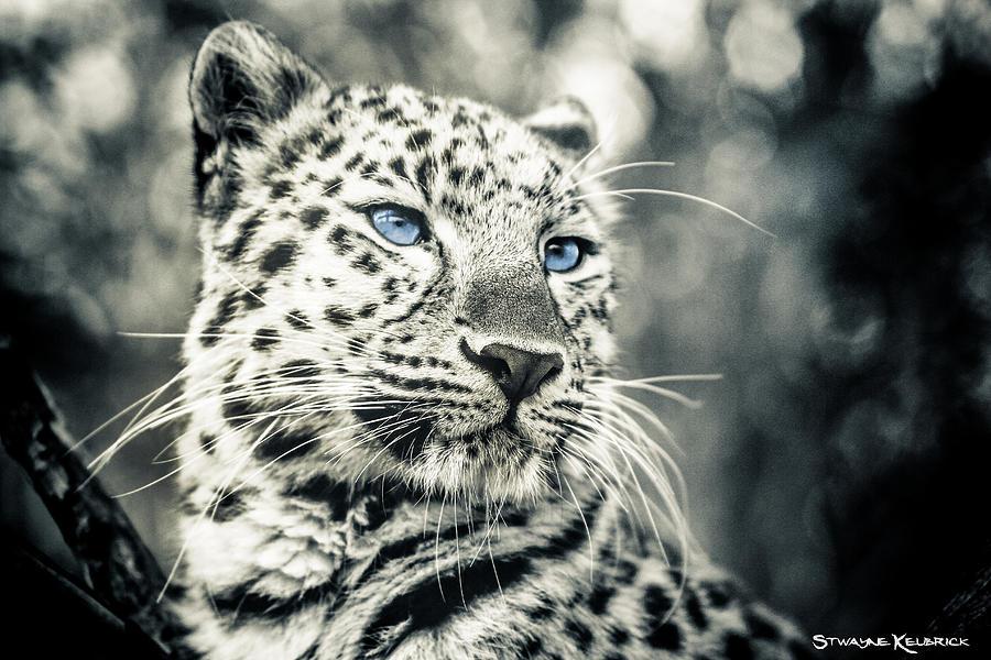 Panther Photograph - Love panther by Stwayne Keubrick