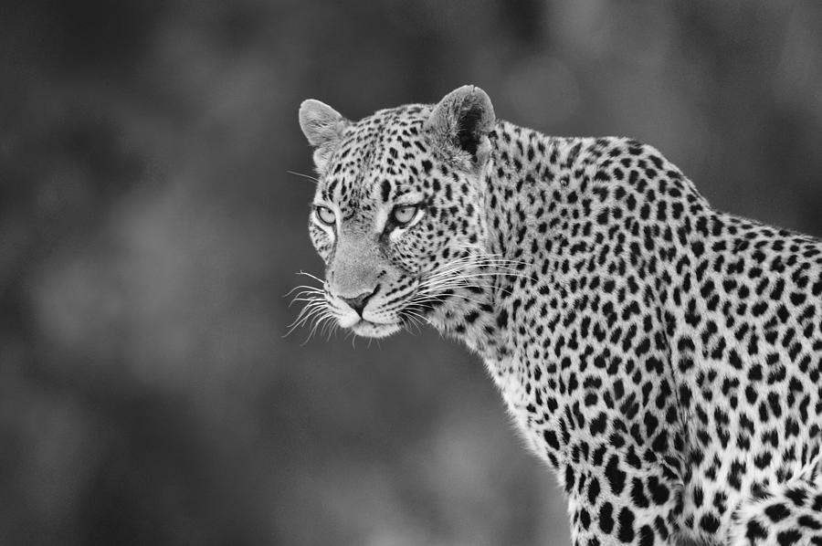 Africa Photograph - Lovely Leopard by Michele Burgess