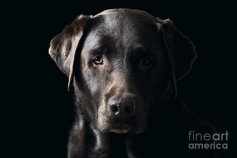 Chocolate Photograph - Low Key Chocolate Labrador by Justin Paget