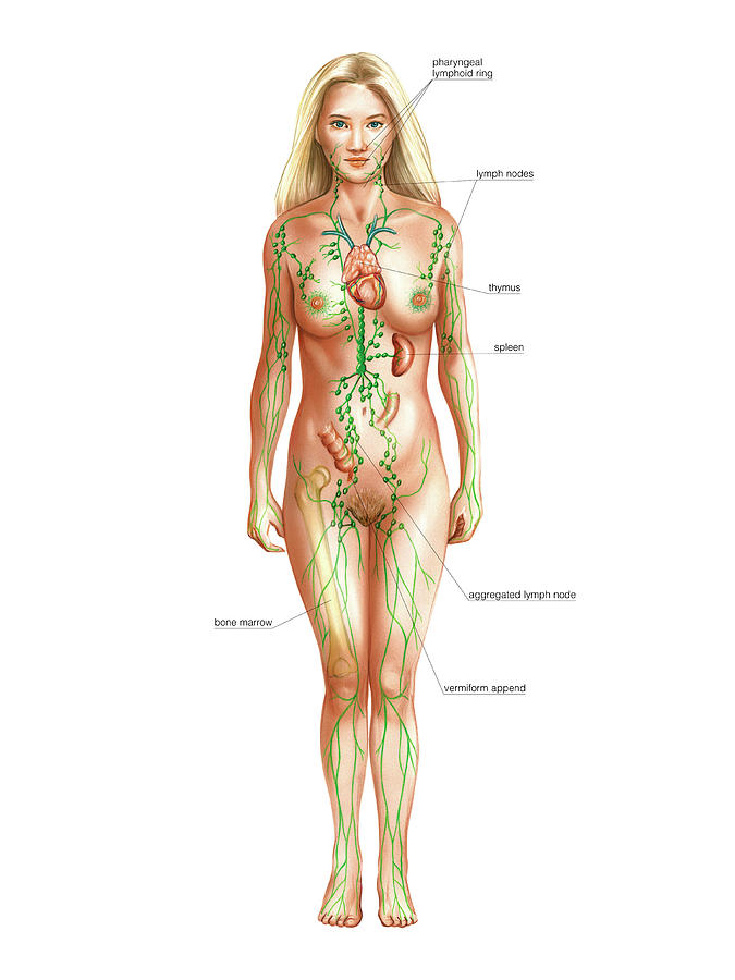 Anatomy Photograph - Lymphatic System by Asklepios Medical Atlas