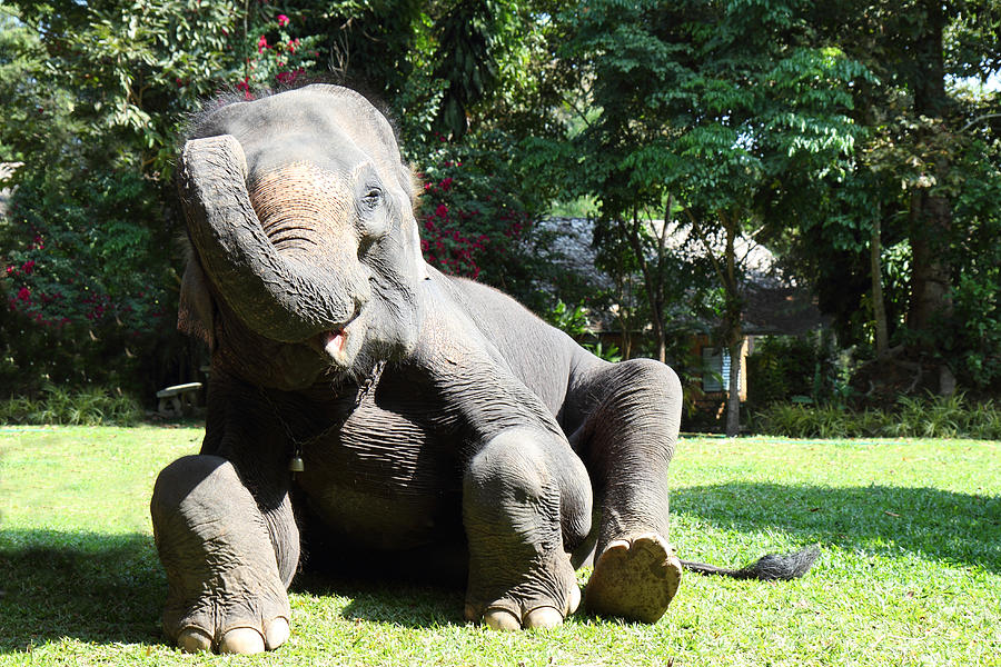 Chiang Photograph - Maesa Elephant Camp - Chiang Mai Thailand - 01131 by DC Photographer