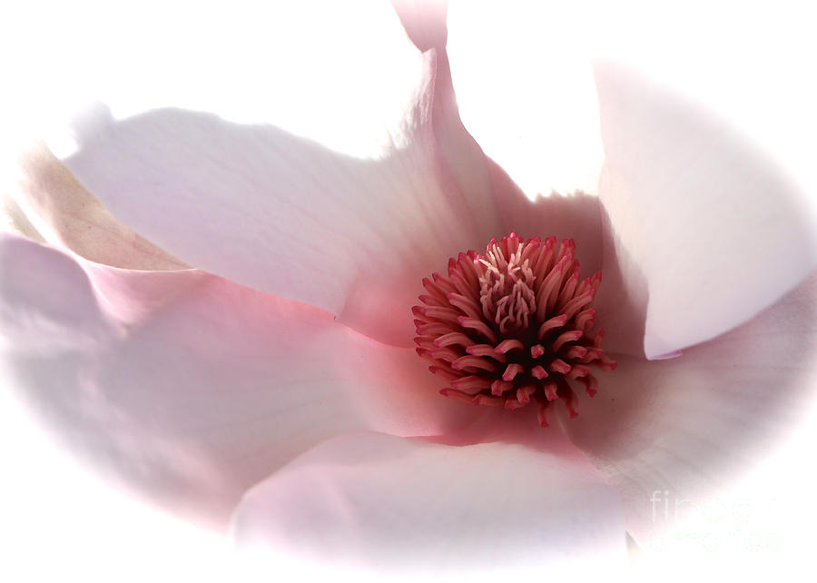 Saucer Magnolia Photograph - Magnolia Center by Carol Groenen
