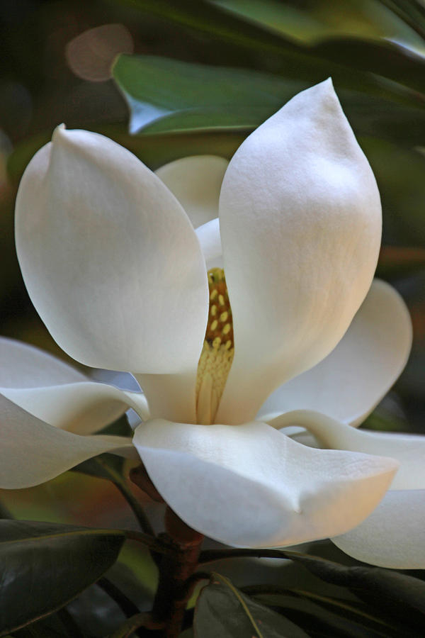 White Photograph - Magnolia2555 by Carolyn Stagger Cokley