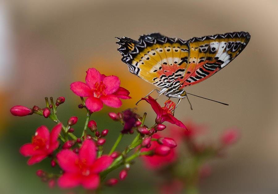 Butterfly Photograph - Malay Lacewing Butterfly  by Saija  Lehtonen