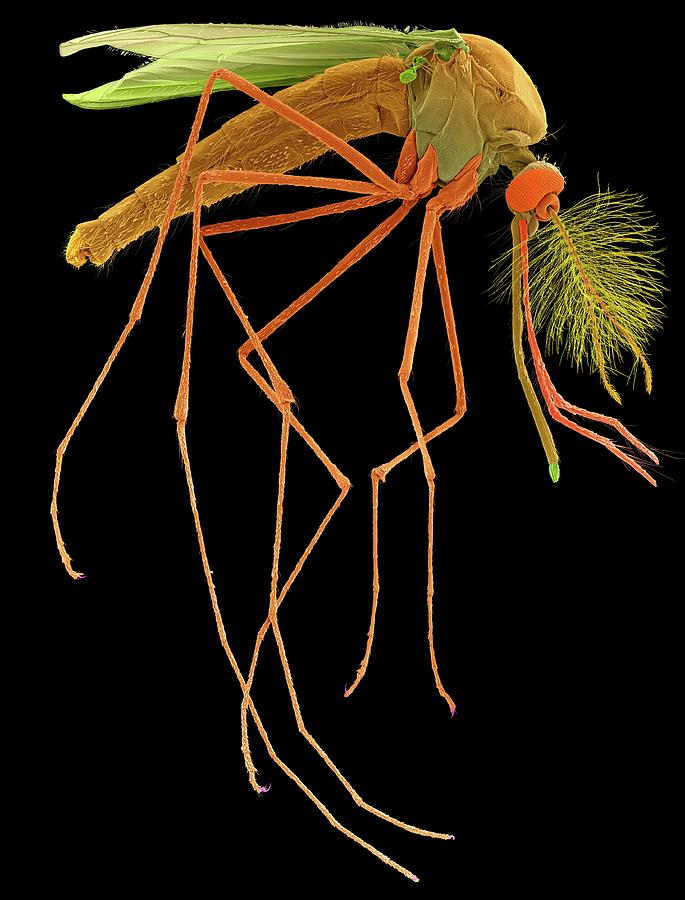 Antenna Photograph - Male House Mosquito by Dennis Kunkel Microscopy/science Photo Library