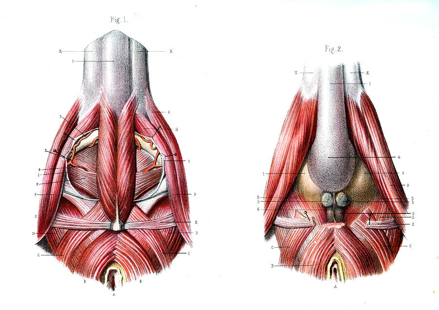 Male Perineum Photograph By Collection Abecasis