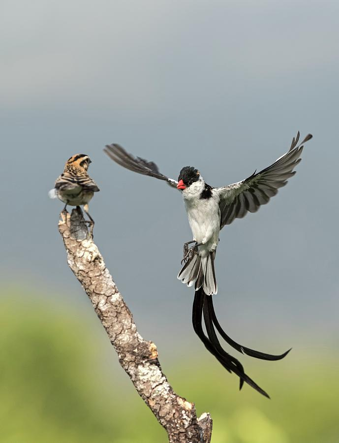 Action Photograph - Male Pin-tailed Whydah In Mating Display by Tony Camacho