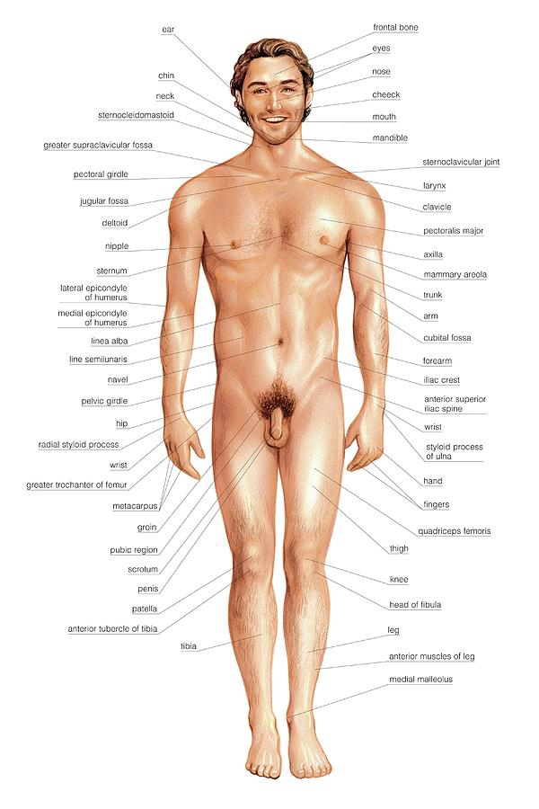 Male Superficial Anatomy Photograph by Asklepios Medical Atlas
