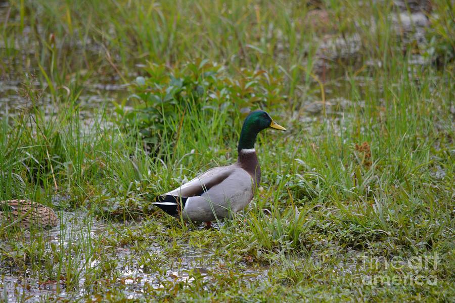 Mallard Duck   Photograph by Ruth  Housley
