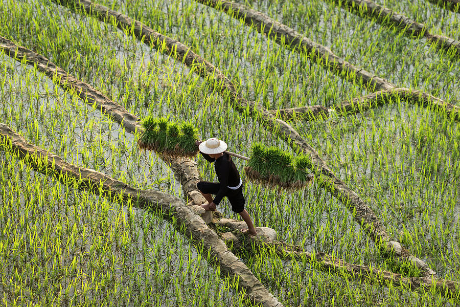 Man Walking Through Rice Fields Photograph by Martin Puddy