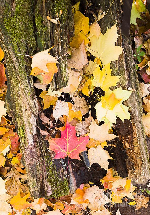 Maple Photograph - Maple Leaves by Steven Ralser