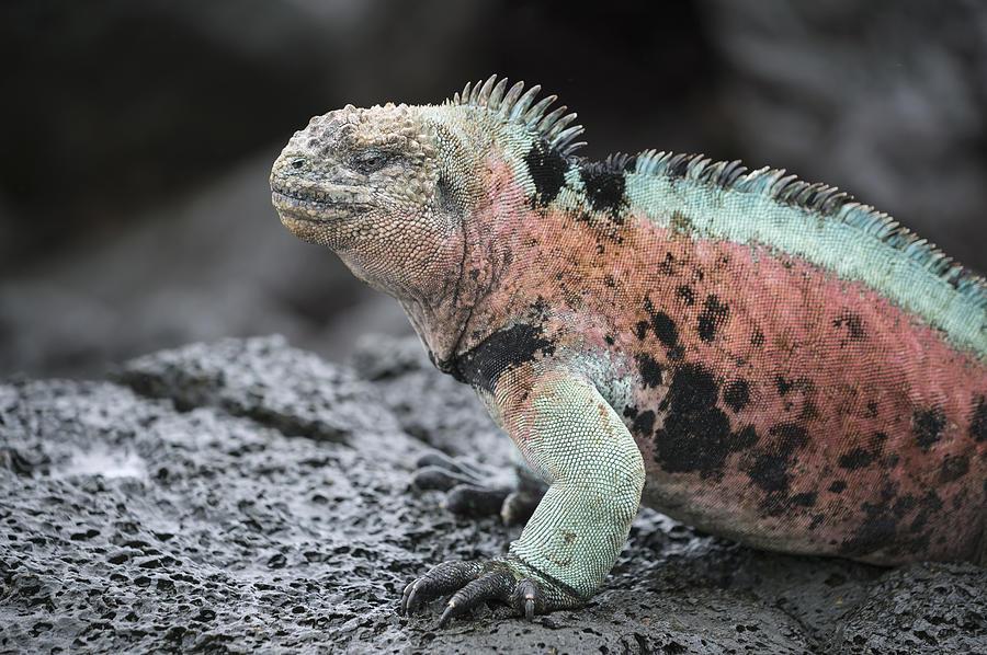 Marine Iguana Male In Breeding Colors Photograph by Tui De Roy