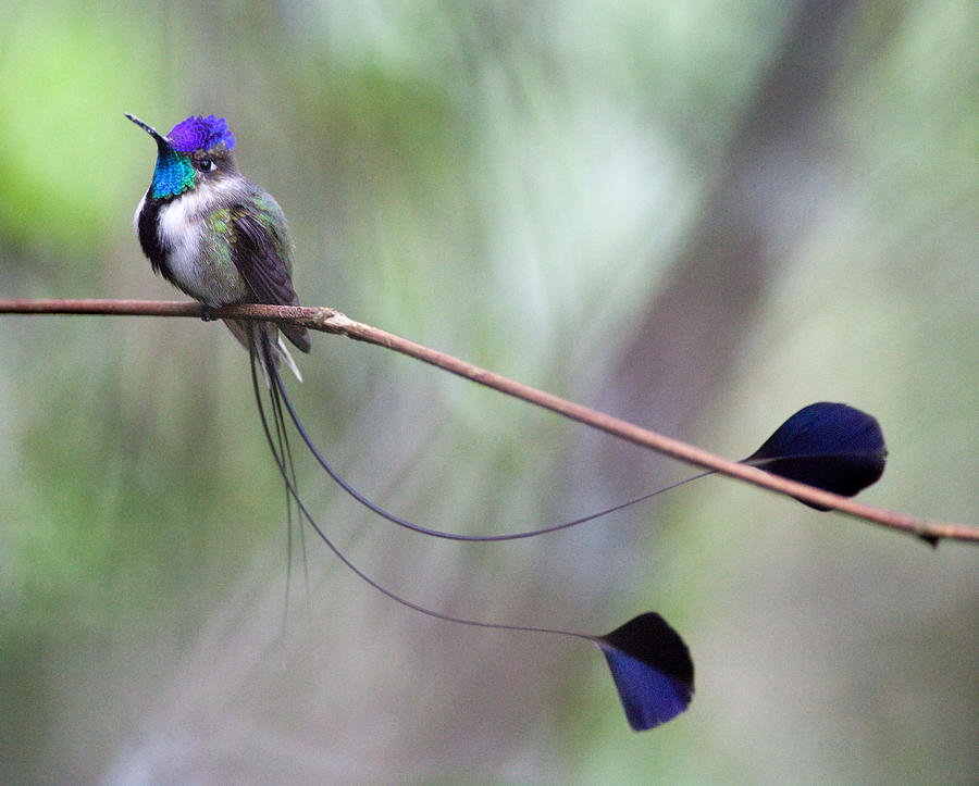 Peru Photograph - Marvelous Spatuletail by Max Waugh