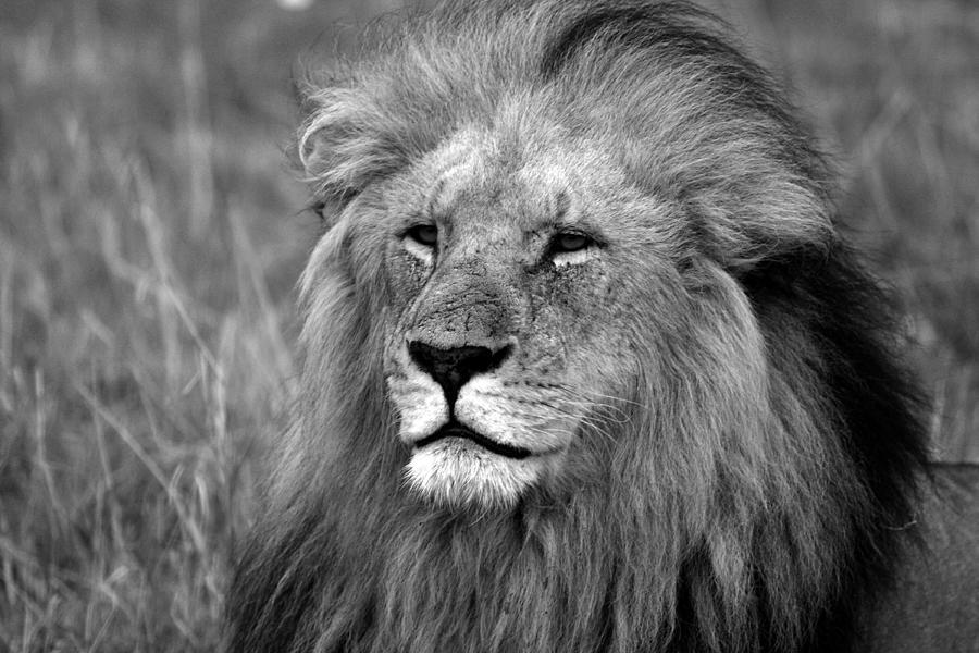 Lion Photograph - Masai Mara Lion  by Aidan Moran