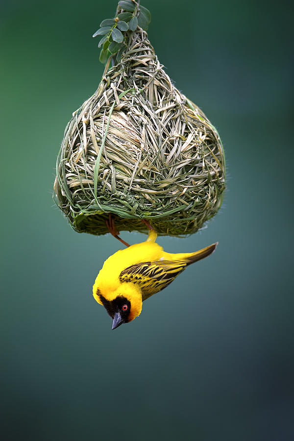 Africa Photograph - Masked Weaver At Nest by Johan Swanepoel