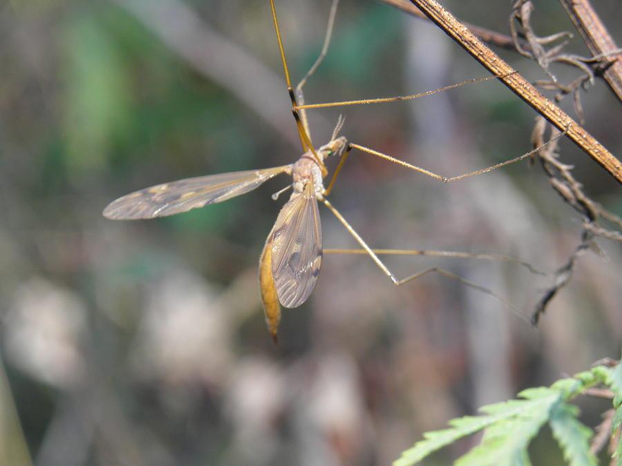 Mayfly Photograph by Charles Vana