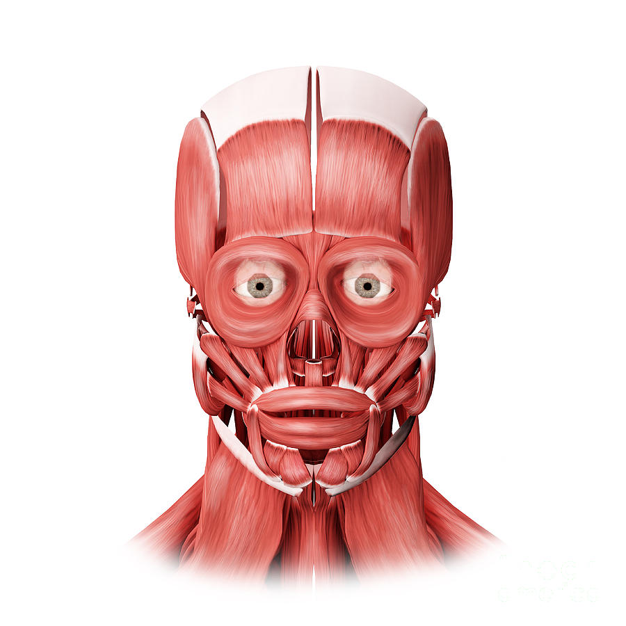 Eyes Open Digital Art - Medical Illustration Of Male Facial by Stocktrek Images