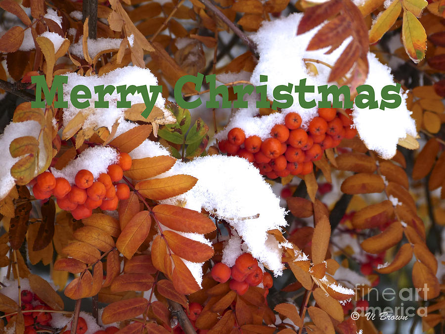 Winter Berries Photograph - Merry Christmas Card by Vi Brown