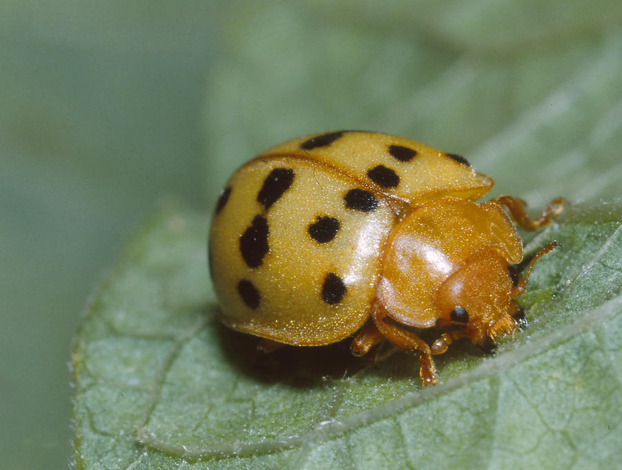 Agricultural Pest Photograph - Mexican Bean Beetle by Harry Rogers