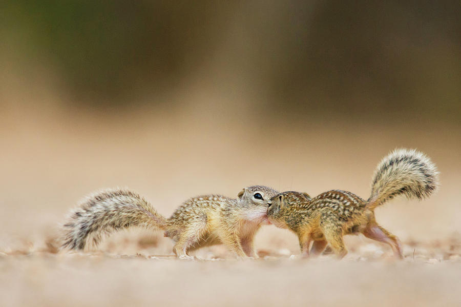 Ie Photograph - Mexican Ground Squirrel (spermophilus by Larry Ditto