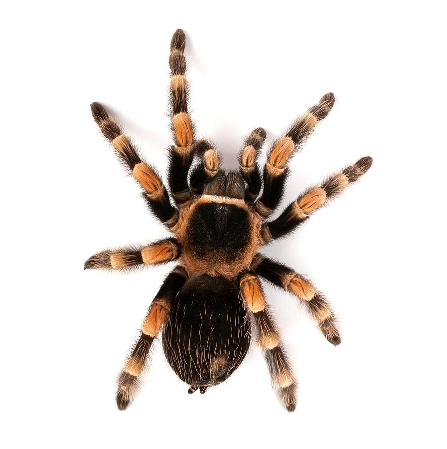 Mexican Redknee Tarantula Photograph By Science Photo Library