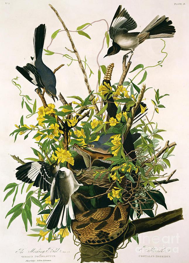 Bird Painting - Mocking Birds And Rattlesnake by John James Audubon