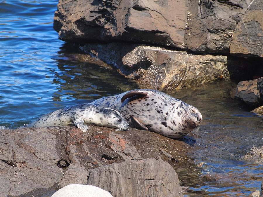 Seals Photograph - Mom And Baby Seal by Frieda Cron