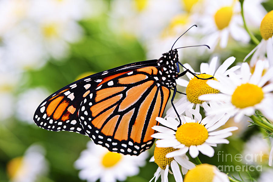 Monarch Photograph - Monarch Butterfly by Elena Elisseeva